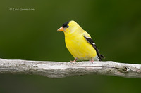 Photo - American Goldfinch