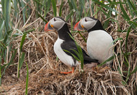 Photo - Atlantic Puffin