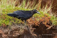 Photo - Common Raven