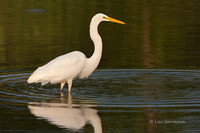 Photo - Great Egret