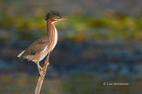 Photo - Green Heron