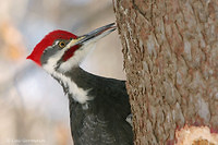 Photo - Pileated Woodpecker