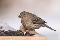 Photo - House Finch
