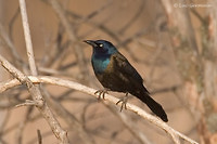 Photo - Common Grackle