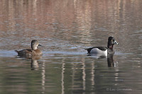 Photo - Ring-necked Duck
