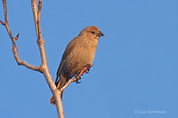 Photo - Brown-headed Cowbird