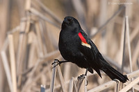 Photo - Red-winged Blackbird