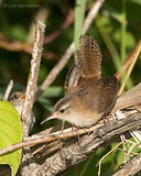 Photo - Marsh Wren