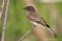 Photo - Eastern Phoebe