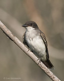 Photo - Eastern Kingbird