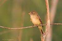 Photo - Yellow-bellied Flycatcher