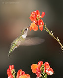 Photo - Ruby-throated Hummingbird