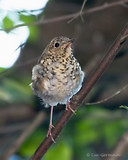 Photo - Hermit Thrush