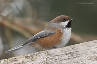 Photo - Boreal Chickadee