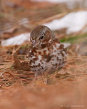 Photo - Fox Sparrow