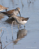 Photo - Solitary Sandpiper