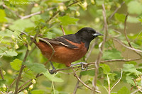 Photo - Orchard Oriole