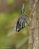 Photo - Black-and-white Warbler