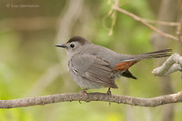 Photo - Gray Catbird