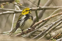 Photo - Black-throated Green Warbler