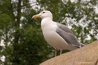 Photo - Glaucous-winged Gull