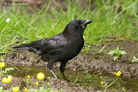 Photo - Northwestern Crow