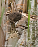 Photo - Common Gallinule