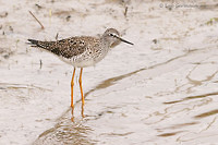 Photo - Lesser Yellowlegs