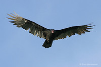 Photo - Turkey Vulture