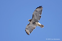 Photo - Red-tailed Hawk