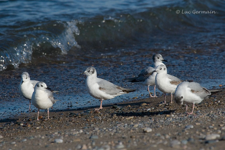 Photo - Mouette de Bonaparte