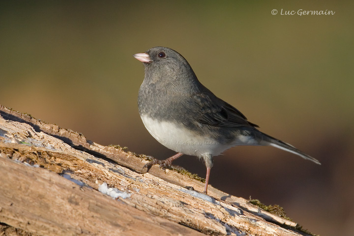 Photo - Junco ardoisé
