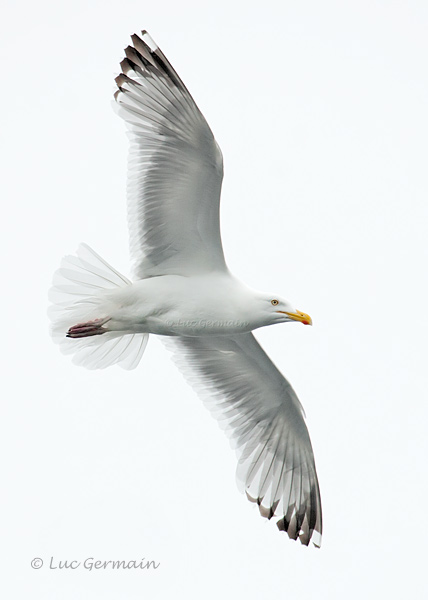 Photo - Herring Gull