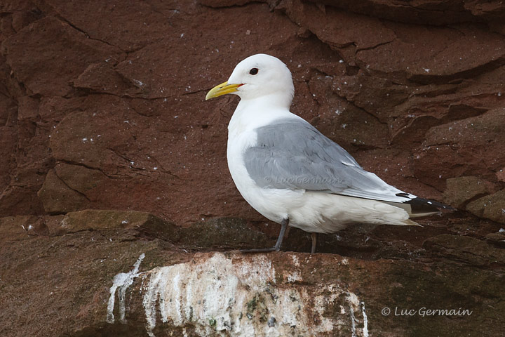Photo - Mouette tridactyle