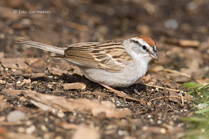 Photo - Chipping Sparrow