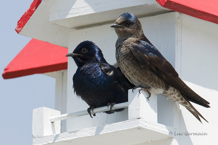 Photo - Purple Martin