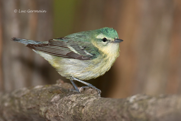 Photo - Cerulean Warbler