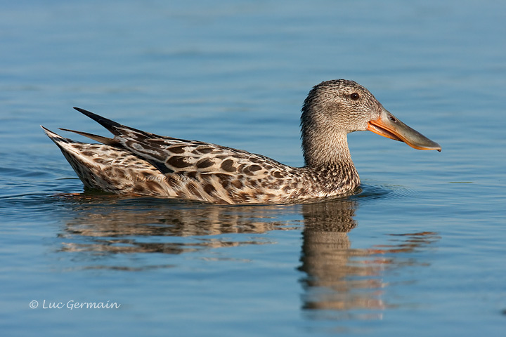 Photo - Northern Shoveler