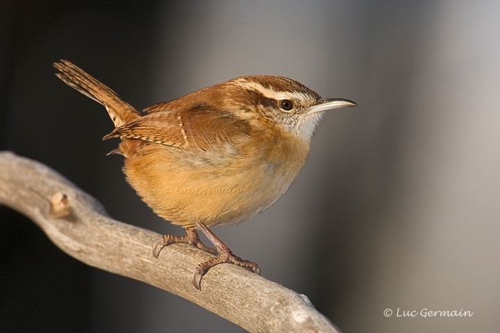 Photo - Carolina Wren