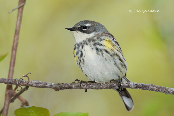 Photo - Yellow-rumped Warbler