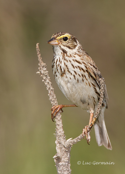 Photo - Savannah Sparrow
