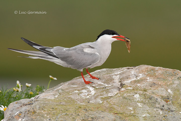 Photo - Common Tern