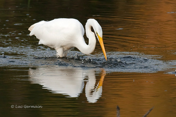 Photo - Grande Aigrette