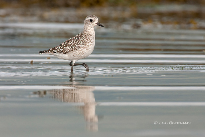Photo - Black-bellied Plover