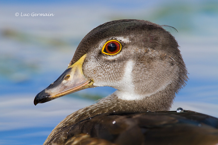 Photo - Wood Duck