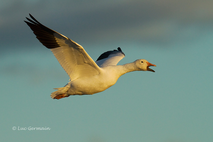 Photo - Snow Goose