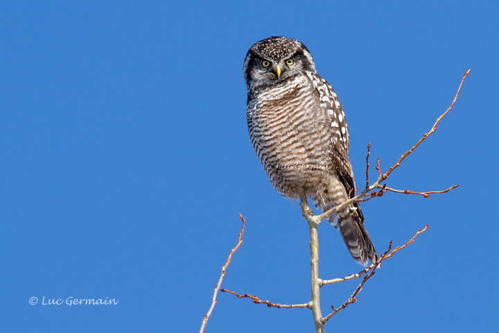 Photo - Northern Hawk Owl