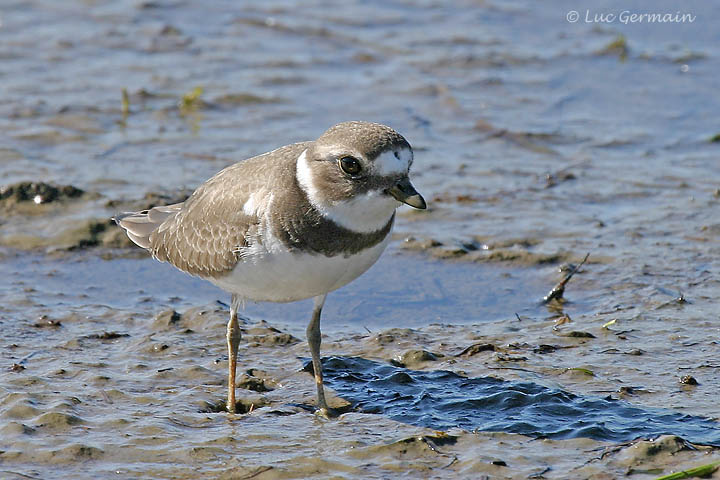 Photo - Semipalmated Plover
