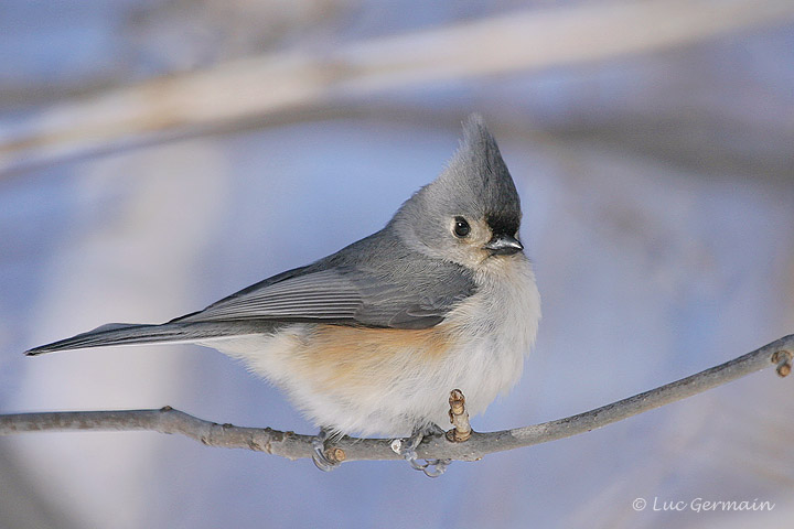 Photo - Tufted Titmouse