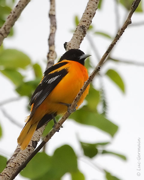 Photo - Baltimore Oriole